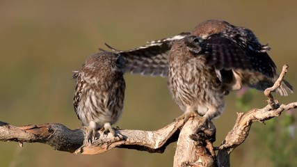 Wall Mural - Owls. Three Young little Owls (Athene noctua) on a dry branch on a beautiful summer background. Play and fly