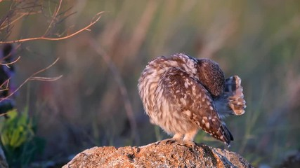 Wall Mural - Owls. Young little Owls (Athene noctua) sits on a rock in the soft evening light and brushes its feathers.