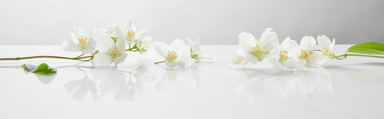 Aluminium Prints Floral panoramic shot of jasmine flowers on white surface