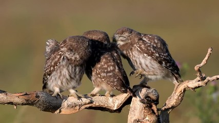 Fototapete - Owls. Three Young little Owls (Athene noctua) play on a dry branch on a beautiful summer background.