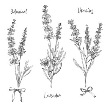 Set of hand drawn sketch of Lavender flower and cute bows isolated on white background. France provence retro pattern for romantic fresh design concept. Natural lavander