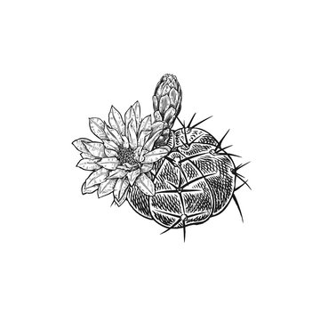 Hand drawing of blooming cactus. Vintage vector