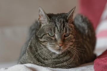 Eine grau getigerte Katze liegt auf einem Sofa
