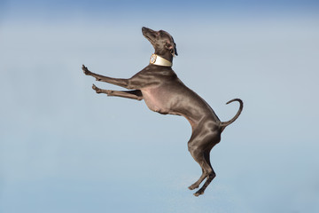 Italian greyhound dog jump on river shore