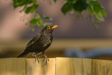 Eine Amsel sitzt auf einem Zaun