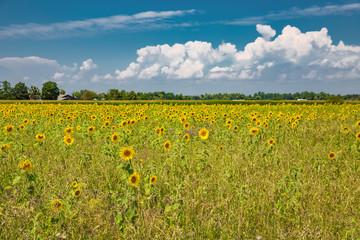 Feld aus Sonnenblumen in Deutschland