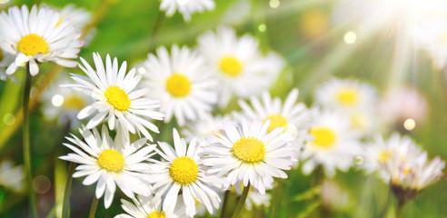 Wall Mural - Blumenwiese - Hintergrund - Frühling - Sommer Blumen Wiese