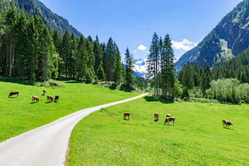 Wall Mural - Idyllic mountain landscape with cows grazing in the Alps