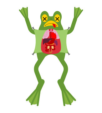 Anatomy frog. Internal organs of toad. Amphibian preparation. Study guide zoologists