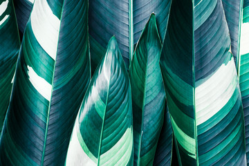 Heliconia variegated foliage, Exotic tropical leaf texture, dark green foliage nature background Wall mural