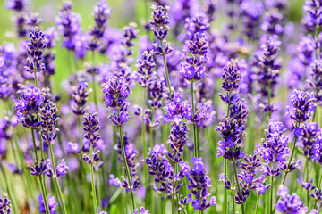 Lavender plant growing in a field in summertime for background.