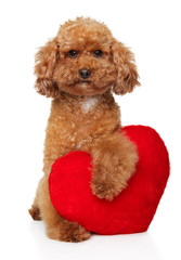 Poodle puppy with red Valentine heart