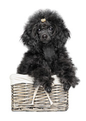 Toy Poodle puppy in basket on white background