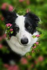 Young border collie dog with flowers