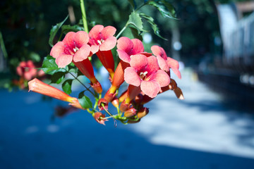 Close up of the big salmon pink colored, trumpet shaped flowers of trumpet creeper or trumpet or cow itch or hummingbird vine Campsis radicans over blue sky