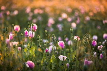 Mohnblumen in pink
