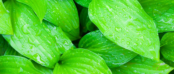 Green leaves background. Dew drops on green leaves. Drops of water in the sun. Eco concept with blurred background. Widescreen Wall mural