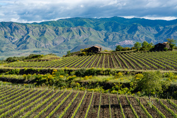 Foto op Canvas Wijngaard Landscape with green vineyards in Etna volcano region with mineral rich soil on Sicily, Italy