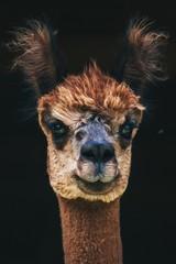 Foto op Plexiglas Lama Portrait eines Alpakas mit Charakter