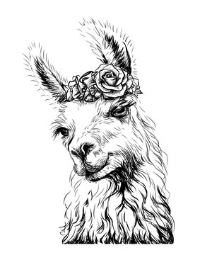 Lama/Alpaca. Sticker on the wall in the form of an outline, hand-drawn artistic portrait of a lama on a white background.