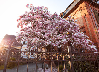 Magnolienbaum vor Haus