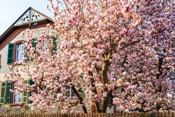 Magnolienblüten pink