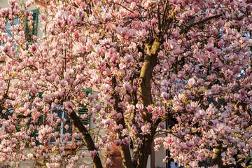 Manolienblüten