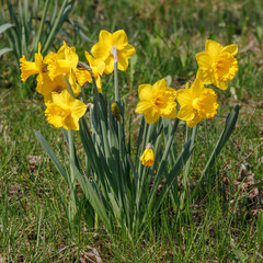 Gelbe Narzissen im Frühling, Narcissus pseudonarcissus