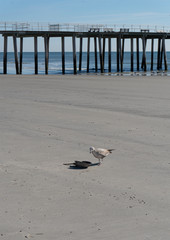 Seagull with Horseshoe Crab by Fishing Pier at Low-tide