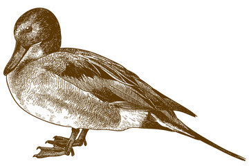 engraving drawing illustration of Northern pintail