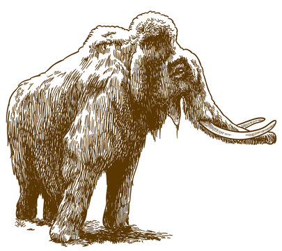 engraving drawing illustration of woolly mammoth