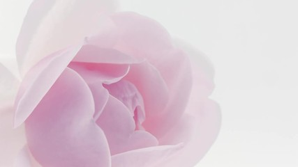 Fotoväggar - Beautiful pink rose opening closeup over white background. Blooming rose flower. Floral backdrop, Valentine's Day concept. Timelapse. 4K UHD video footage. 3840X2160
