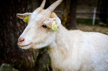 Young goat with yellow mark in ears and small horns