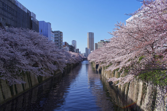 River with flowers Sakura during spring, cherry blossom in a beautiful day