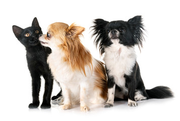 black kitten and chihuahuas