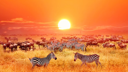 Wall Mural - Zebras and antelopes at sunset in african savannah. Serengeti national park. Tanzania. Wild nature of Africa.
