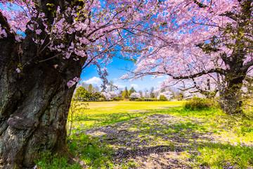 Sakura or Cherry blossom season in Japan