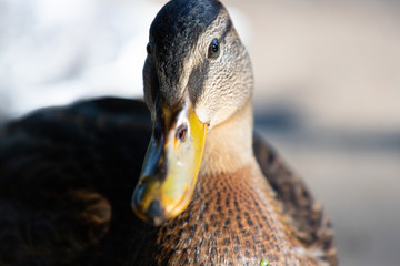 Close-up of a mallard duck on the water swimming in a pond
