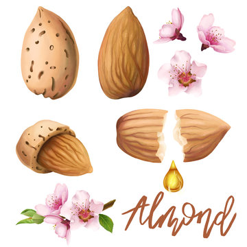 Digital illustrations set of almond and almond flowers.