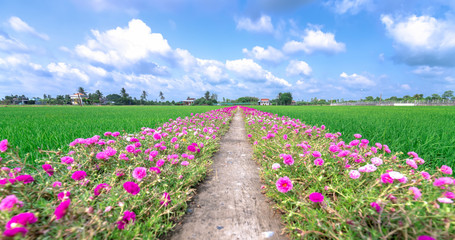 Portulaca grandiflora flowers bloom along the trail leading to the farmer's house with two beautiful and peaceful young rice fields