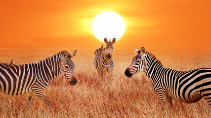 Wall Mural - Zebras at sunset in the Serengeti National Park. Tanzania. Wild life of Africa. Artistic african image.