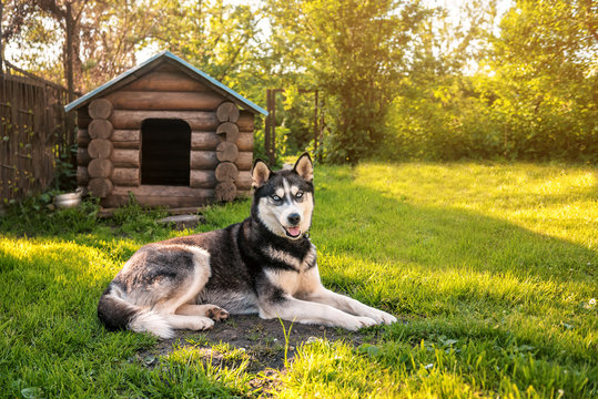 Husky is resting at the kennel