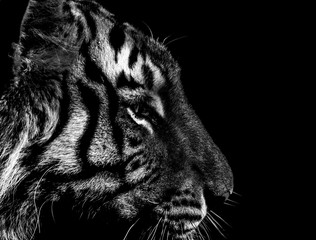 black and white tiger portrait in detail