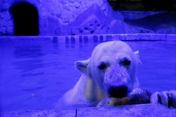 Ursula, a one-year-old female polar bear holds a fish while swimming in a pool inside an open-air cage, as illumination is lit on for late visitors to observe animals at night environment, at a zoo in Krasnoyarsk