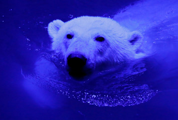 Ursula, a one-year-old female polar bear, swims in a pool inside an open-air cage, as illumination is lit on for late visitors to observe animals at night environment, at a zoo in Krasnoyarsk