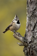 Wall Mural - Crested Tit perched on a small branch of a Scots Pine tree with a green background.