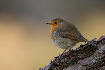 Wall Mural - Close up of a Robin perched on a log with an orange/brown background.  Taken in the Cairngorms National Park.