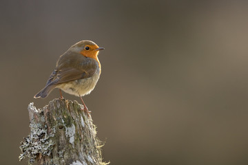 Wall Mural - Backlit Robin perched on a log with brown background taken in Cairngorms National Park, Scotland.