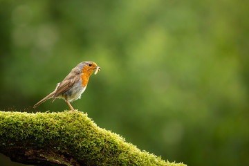 Wall Mural - Robin perched on a green moss branch with an insect in its beak with a green background.