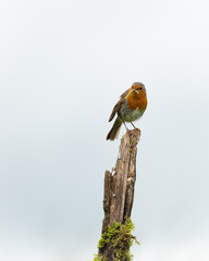 Wall Mural - Robin perched on a branch with a pale blue sky background